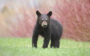 Picture grass, face, background, bear, bear, walk, baribal