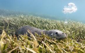 Picture algae, Australia, the island of Carnac, Australian sea lion