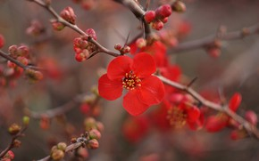 Picture flowers, branches, branch, spring, red, flowering, spring
