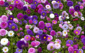 Picture flowerbed, asters, autumn flowers