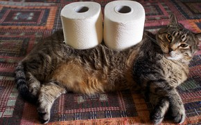 Picture cat, cat, look, grey, bed, blanket, lies, striped, thick, rolls, chubby, toilet paper