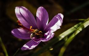 Picture macro, bee, petals, Krokus
