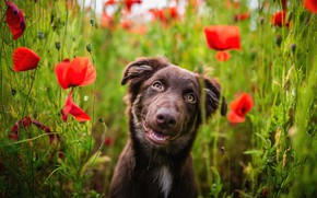 Picture field, language, summer, look, face, flowers, nature, pose, smile, Maki, portrait, dog, positive, red, walk, …