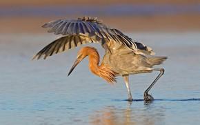 Picture bird, beak, FL, hunting, USA, Pacific Heron