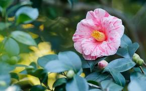 Picture flower, pink, foliage, blur, branch, bokeh, Camellia, striped