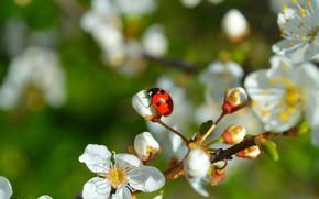 Picture Spring, Ladybug, Flowering