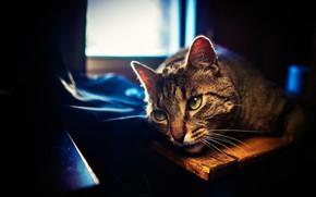 Picture cat, cat, look, face, light, darkness, grey, Board, portrait, window, fabric, lies, striped, Kote