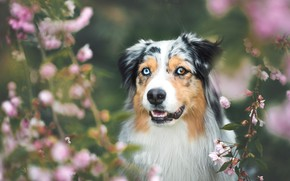 Picture forest, face, flowers, branches, nature, background, portrait, dog, spring, garden, flowering, blurred, Australian shepherd, odd-eyed, ...