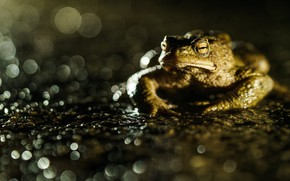 Picture look, macro, glare, pond, the dark background, frog, toad, pond, bokeh