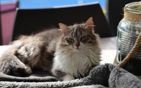 Picture cat, Bank, lies, fluffy, grey with white