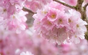 Picture flowers, close-up, branch, spring, Sakura, pink, flowering, a lot, bokeh
