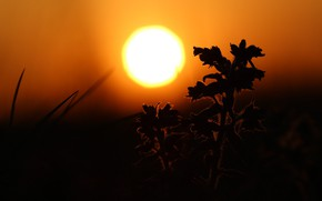 Picture flower, the sun, sunset, the steppe