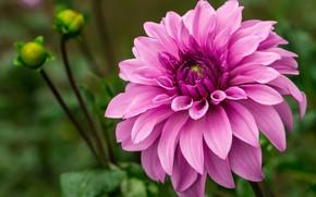 Picture macro, pink, Dahlia