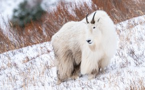 Picture winter, look, snow, goat, wool, slope, white, mountain, goat, dry grass, goat, mountain goat