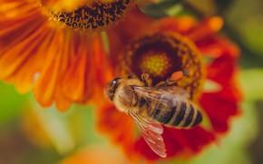 Picture macro, flowers, bee, orange, bokeh, gelenium