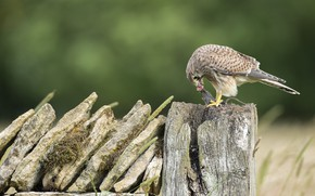 Picture stones, bird, stump, Falcon, predatory, mining, Kestrel