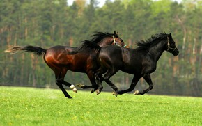 Picture greens, field, forest, summer, grass, nature, lawn, together, black, two, Shine, horses, spring, horse, meadow, …