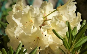 Picture macro, rhododendron, Azalea