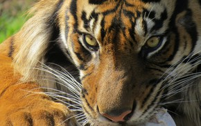 Picture eyes, look, tiger