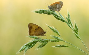 Picture macro, butterfly, insects, background, butterfly, two, spikelets, pair, ears, a couple, brown, Duo, cereals, two …