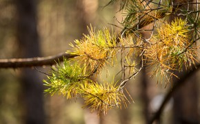 Picture autumn, forest, macro, nature, gold, branch, Spruce, pine
