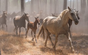 Picture forest, grass, trees, fog, horses, horse, running, a lot, gallop, the herd, the herd, foal