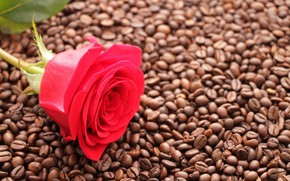 Picture flowers, Bud, background, red rose, coffee beans, Wallpaper, coffee, rose, mood