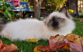 Picture autumn, cat, cat, look, leaves, nature, kitty, lies, blue eyes, marks, ragdoll