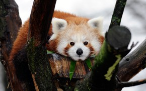 Picture look, branches, background, tree, portrait, red Panda, face, cutie, red Panda, branches, wood, bar