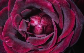 Picture macro, rose, petals, Burgundy