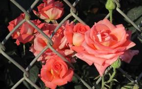 Picture summer, mesh, roses, 2018, June, Mamala ©