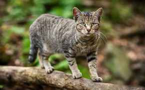 Picture cat, cat, look, nature, pose, grey, background, tree, walk, log, striped, green eyes, bokeh, cute