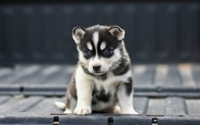Picture metal, pose, background, the fence, dog, baby, puppy, face, sitting, husky, Siberian husky