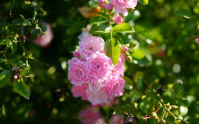 Picture summer, leaves, flowers, branches, roses, pink, rose Bush