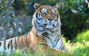 Picture face, nature, tiger, background, portrait, lies, view, bokeh