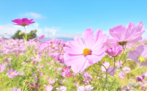 Picture summer, flowers, flowering, kosmeya