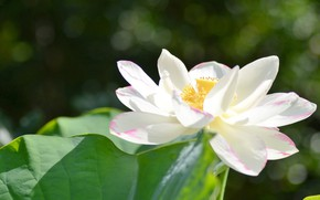 Picture white, tenderness, Lotus