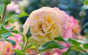 Picture rose, Bush, Bud, lepecki