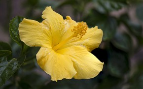 Picture flower, leaves, macro, yellow, hibiscus