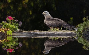 Picture look, flowers, nature, reflection, the dark background, bird, shore, black background, kite, pond, predatory, ivy