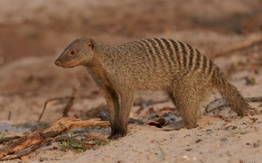 Picture background, wildlife, pinstripes, animal, mongoose, DUELL ©