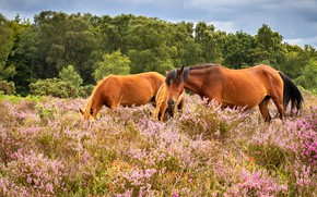 Picture trees, flowers, nature, glade, two, horses, horse, pasture, meadow, pair, pink, two horses, Heather, he …