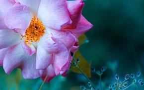 Picture rose, pink rose, Rodrigo Godinez