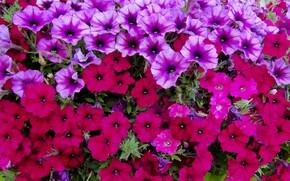 Picture flowers, flowerbed, petunias