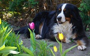 Picture look, face, flowers, nature, pose, stay, dog, spring, garden, tulips, lies, path, Bernese mountain dog, …