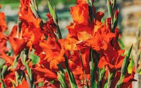 Picture flowers, background, bright, Bush, garden, red, bokeh, gladiolus