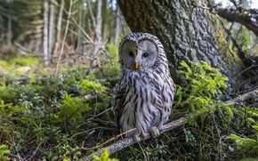 Picture forest, tree, owl, bird, branch, owl