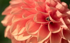 Picture flower, ladybug, Dahlia