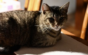 Picture cat, cat, look, face, light, grey, lies, striped