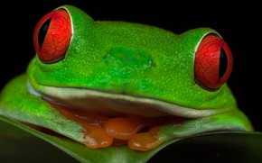 Picture eyes, frog, Red-eyed